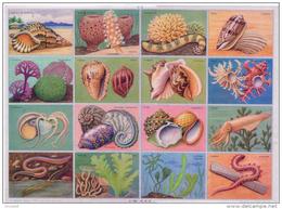 Planche Images Pédagogie Coquillages Calmar Sangsue Madrépore Strombe Format 24x33 Cm état Superbe 1957 - Animaux