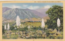 Cactus Yucca In Bloom In Southern California Curteich