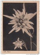 Fiori STELLE ALPINE - Botanik