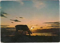 Reinsdyr / Reindeer - Midnattsol / Midnight Sun - (Norway/Norge) - Noorwegen