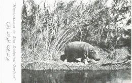 Afrique - Egypte - Gizeh - Hippopotame - Hippopotamus In Giza Zoological Gardens - Gizeh