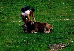 Photo Couleur Originale La Vache Et Le Randonneur Vers 1980 - Anonyme Personen