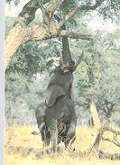 AFRIQUE ZIMBABWE Elephant Reaching For A Tasty Morsel *PRIX FIXE - Zimbabwe