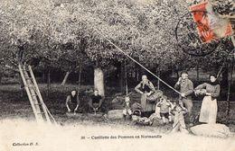 Cueillette Des Pommes En Normandie - France