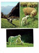 Lot 3 Cpm - Moutons - Brebis Agneau - Causse Méjean - élevage Ovin - Pyrénées - - Elevage