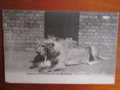 MISSION DU SHIRE DES PERES MONTFORTAINS . LION PRIS AU PIEGE - Congo - Kinshasa (ex Zaire)