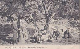 CÔTE D'AZUR  La Cueillette Des OLIVES. - France