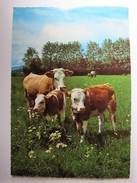 ANIMAUX - Vaches - Mucche