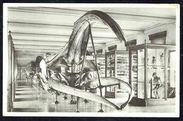Musée Royal D'Histoire Naturelle - BRUXELLES - Crâne De Baleine Franche Des Mers Artiques - Non Circulé - Not Circulated - Museum