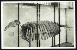 Musée Royal D'Histoire Naturelle - BRUXELLES - Squelette De DUGONG, Miocène Supérieur - Non Circulé - Not Circulated - Museum