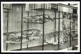 Musée Royal D'Histoire Naturelle - BRUXELLES - Squelettes De HAINOSAURE De Bernard - Non Circulé - Not Circulated - Museum