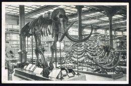 Musée Royal D'Histoire Naturelle - BRUXELLES - Squelette De MAMMOUTH, Quaternaire - Non Circulé - Not Circulated. - Museum