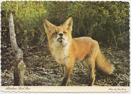 Alaskan Red Fox, Postcard [20686] - Animaux & Faune