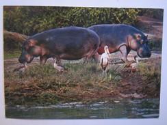 Animaux Hippopotames - Hippopotames