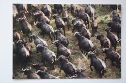 Africa - Botswana. Buffalo  - Old Postcard - Botswana
