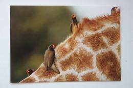 Africa - Botswana. Okavango Delta, Oxpecker At Girafffe Neck - Old Postcard - Botswana