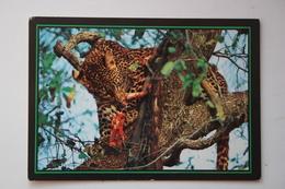 Zimbabwe - Hwange National Park - Leopard With Its Kill - Old Postcard - Zimbabwe