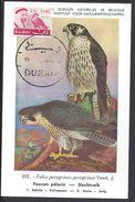 "DUBAI - Carte Maximum ""Falco Peregrinus Peregrinus Tunst"" Cachet De Dubai - B/TB - - Dubai"