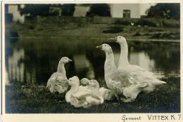 GEVAERT VITTEX K 7  Oche E Papere  Animali - Foto