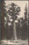 Grizzly Giant Redwood Tree, Yosemite, California, C.1910s - RPPC - Yosemite