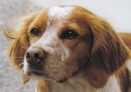 Brittany Spaniel - Epagneul Breton - Dog - Chien - Cane - Hund - Hond - Perro - Honden