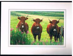VACHES BRUNES - Cows