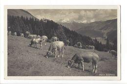 18439 -  Davos Schatzalp Troupeau De Vaches - GR Grisons