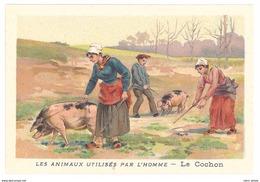 Chromo : Les Animaux Utilisés Par L'homme : Le Cochon ( Truffe ) - Autres