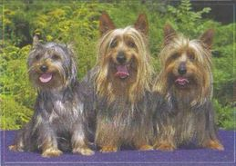 Yorkshire Terrier Or Silky Terrier - Dog - Chien - Cane - Hund - Hond - Perro - Chiens