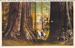 USA - The Siamese Twins - Daniel Webster And Granite State - Calaveras Big Tree Grove - Etats-Unis