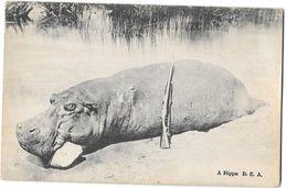 Afrique - KENYA -  CHASSE à L'HIPPOPOTAME - Animal Mort, Fusil -  A.HIPPO B.E.A.   D.V.FIGUEIRA MOMBASA B.E.A. - Kenya