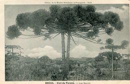 ARBRE(BRESIL) PARANA(SAPIN) - Trees