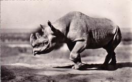 CPSM Animal Sauvage Rhinocéros Noir D' Afrique Nashorn Rinoceronte Hocopor - Rhinocéros