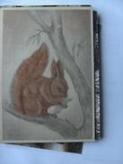 Eekhoorn Squirrel Eichhörnchen Ecureuil Wildens - Animaux & Faune