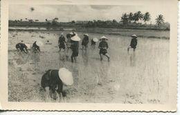 Sud Vietnam - Repiqueuses à La Campagne (002580) - Vietnam