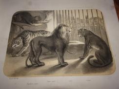 Panthère, Tigre, Lion, Jardin Des Plantes, Loge Des Animaux Féroces, Estampe De 1850, Löwe, Leeuw, Leon, Tiger, Tijger - Vieux Papiers