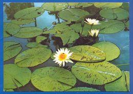 Mauritius; Jardin Botanique De Pamplemousses - Mauritius