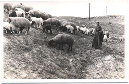 Foto Reale Di Pastore Con Pecore In Terra Santa - Anni 60/70 - Non Identificato - Altri
