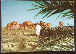 SAUDI ARABIA - Children Of The Desert Bedouin Camel Breeders - KSA Vg 1978 - Arabia Saudita