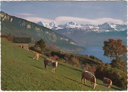Sigriswil (Thunersee): ALPEN KÜHE / VACHE / KOEIEN / COWS - Eiger, Mönch Und Jungfrau - (Suisse/Schweiz) - BE Berne
