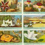 LIEBIG : S_1536 : 'Fleurs Géantes - Zonder Classificatie