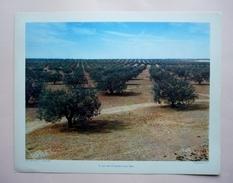 GRAVURE PEDAGOGIQUE JUILLET 1955 -  27 X 21 -  TUNISIE - La Mer D'oliviers Vers SFAX - Géographie