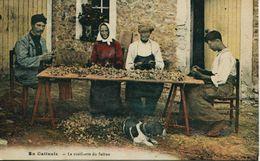 13750 - Loiret -  EN GATINAIS :  LA CUEILLETTE  DU SAFRAN  ET L'EPLUCHAGE   BEAU PLAN  -  ECRITE - France