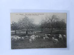 CPA DANDO BERRY RENNES Ecole Pratique D'Agriculture Des Trois-Croix Le Troupeau Au Verger Du Grand-Champ - Rennes