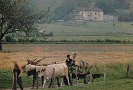 CPM  Pays Basque Attelage De Boeufs - France