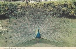 PEACOCK DISPLAYING, PAIGNTON ZOO - Birds