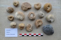 Ammonites (Calvados, Normandie) - Fossiles
