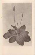 AK Zeichnung Einer Blume - Ca. 1950 (32397) - Blumen