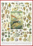 Mollusque Recto Et Culture, Pêche, Exploitation Des Mollusques Verso Larousse 1948 - Vieux Papiers