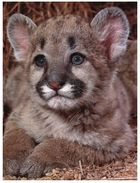 (777) Baby Cougar - Lions
